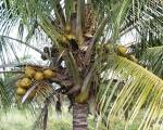 coqueiro - Cocos nucifera (07)