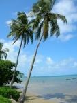coqueiro - Cocos nucifera (08)