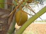 coqueiro - Cocos nucifera (09)