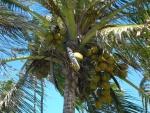 coqueiro - Cocos nucifera (10)