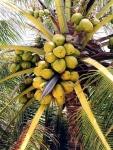 coqueiro - Cocos nucifera (11)