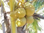 coqueiro - Cocos nucifera (12)