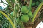 coqueiro - Cocos nucifera (13)