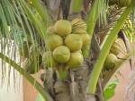 coqueiro - Cocos nucifera (14)