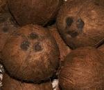 coqueiro - Cocos nucifera (15)