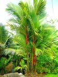 palmeira-laca (01)