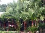 palmeira-laca (02)