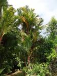 palmeira-laca (03)