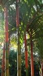 palmeira-laca (04)