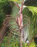 palmeira-laca (05)