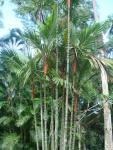 palmeira-laca (06)