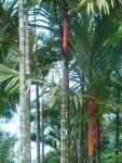 palmeira-laca (07)