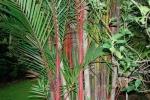 palmeira-laca (09)