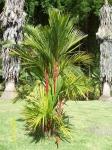 palmeira-laca (10)