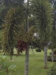 palmeira-rabo-de-raposa (03)