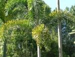 palmeira-rabo-de-raposa (04)