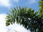 palmeira-rabo-de-raposa (05)