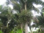 palmeira-rabo-de-raposa (07)