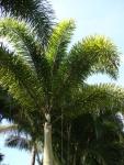 palmeira-rabo-de-raposa (08)