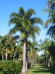 palmeira-rabo-de-raposa (09)