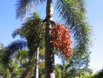 palmeira-rabo-de-raposa (11)