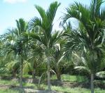 palmeira-real-australiana (01)