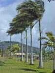 palmeira-real-australiana (02)