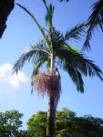 palmeira-real-australiana (03)