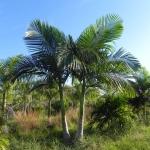 palmeira-real-australiana (04)