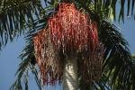 palmeira-real-australiana (09)
