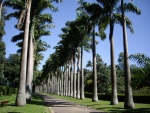 palmeira-real-cubana (01)