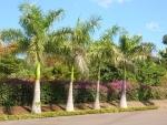 palmeira-real-cubana (02)