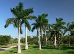 palmeira-real-cubana (04)