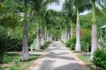 palmeira-real-cubana (05)
