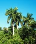 palmeira-real-cubana (06)