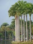 palmeira-real-cubana (07)