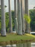 palmeira-real-cubana (08)