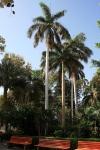 palmeira-real-cubana (09)