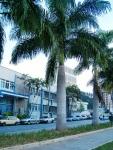palmeira-real-porto-riquenha (01)