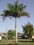 palmeira-real-porto-riquenha (02)