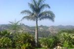 palmeira-real-porto-riquenha (03)