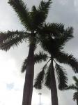 palmeira-real-porto-riquenha (04)