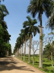 palmeira-real-porto-riquenha (05)