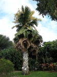 palmeira-talipot (01)