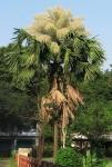 palmeira-talipot (06)