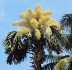 palmeira-talipot (08)