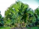 palmeira-talipot (09)