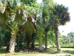 palmeira-talipot (10)