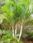 areca-bambu (02)