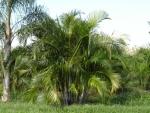 areca-bambu (04)